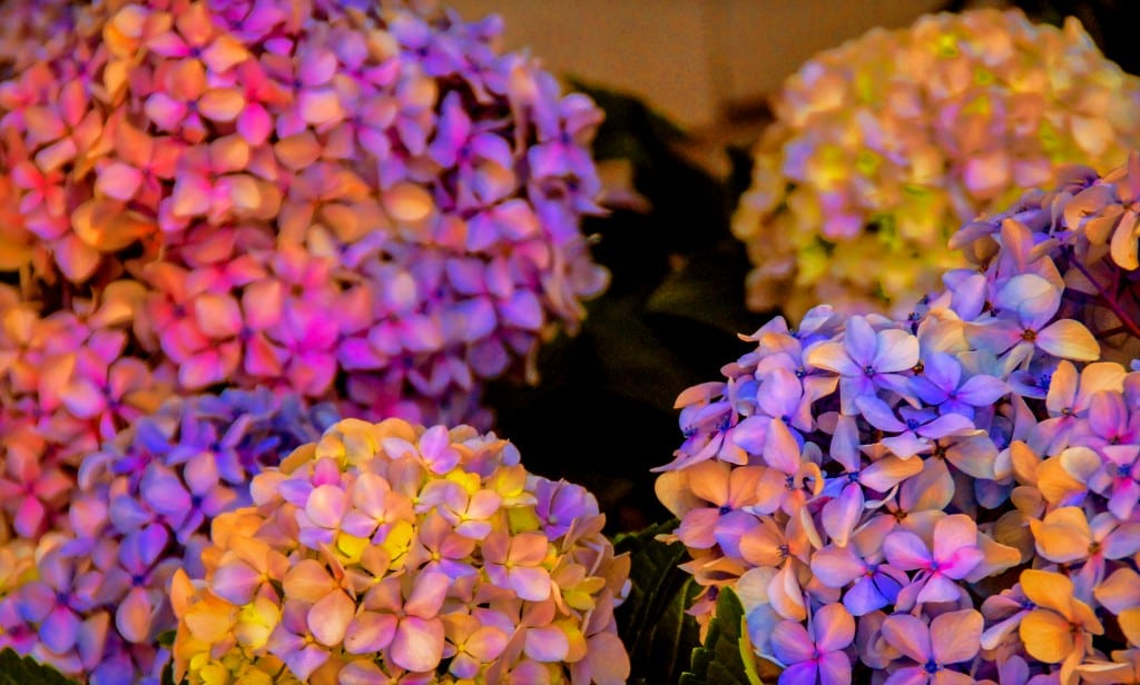 Copy of hydrangeas-2
